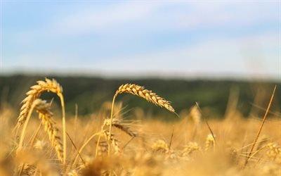Поле, Урожай, Колоски