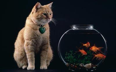 Рыжий кот, Золотые рыбки, Аквариум