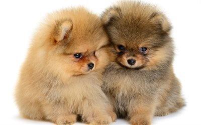 щенки померанских шпицев, милые собачки, щенки, пушистые собаки, милые животные
