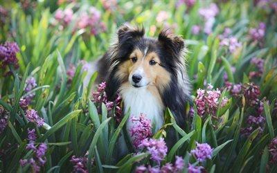 шелти, лето, собаки, гиацинты, пес