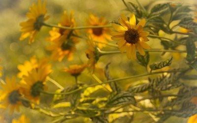 Флора, Цветы, Гелиопсис, Flora, Flowers, Heliopsis