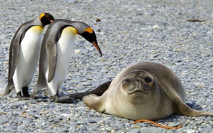 Антарктида, пингвины, тюлень, животные, птицы, пінгвіни, тварини, птахи