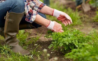Зелень, Грядки, Сбор урожая