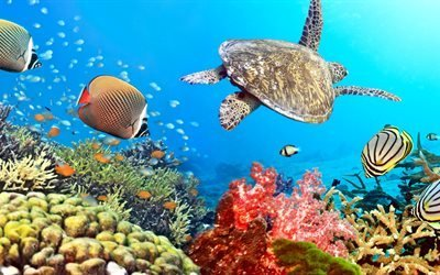 тропики, океан, кораллы, рыбы, черепаха, вода