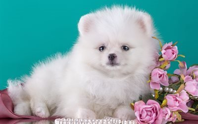 пёс, собака, животное, шпиц, цветы, ожерелье, бусы, жемчуг