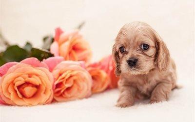 животное, пёс, щенок, собака, спаниель, цветы, розы