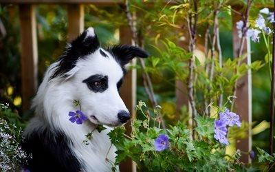 животное, собака, бордер-колли, природа, деревья, цветы