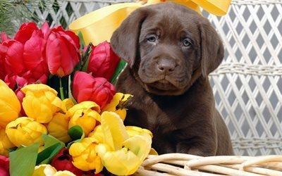 пёс, животное, собака, щенок, ретривер, цветы, тюльпаны