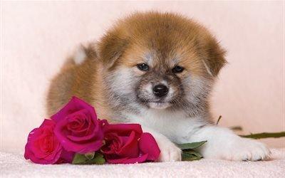 собака, пёс, щенок, животное, цветы, розы