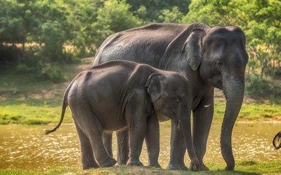 слоны, слоненок, Шри-Ланка, дикая природа, маленький слон