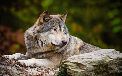 волк, камни, злость