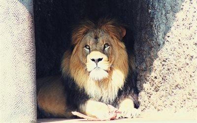 лев, пещера, зоопарк