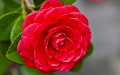 Красивый, красный, цветок