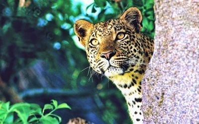 лео, охота, леопард