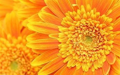 хризантемы, макро, бутон