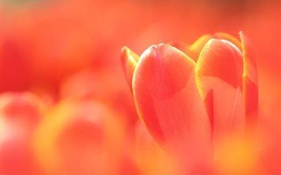 макро, цветок, тюльпан