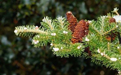 природа, ветка, ель, хвоя, шишки, зима, снег