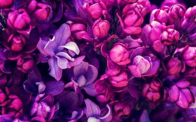 весна, сирень, крупный план, фиолетовые цветы