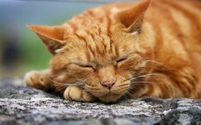 спящий, кот, рыжик, рудий, кошара, котик