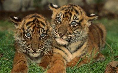 Маленькие, тигрята, маленькі, тигренята, трава