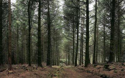 хвои, ёлки, ёлка, лес