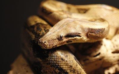 змея, питон