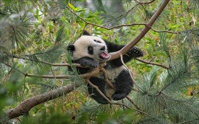 панда, зоопарк, дерево, забавные медведи, висящая панда