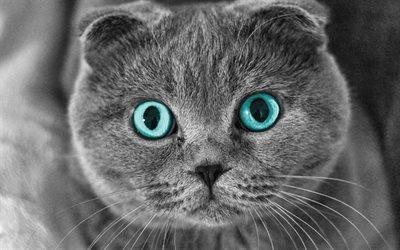 Шотландская вислоухая кошка, серый кот, котэ, коты, забавные животные, вислоух, кот с голубыми глазами