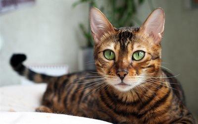 Бенгальская кошка, 4к, котэ, коты, Prionailurus bengalensis, забавные животные