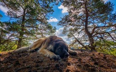 Леонбергер, лес, собаки, песик, лето, забавные животные