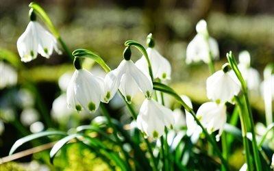 подснежники, 4к, весна, первоцветы, весенние цветы