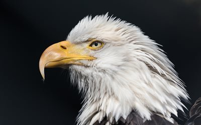 Белоголовый орлан, дикая природа, хищная птица, орел, птицы