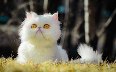 Персидская кошка, лужайка, котэ, белый котенок, коты, Перс, забавные животные