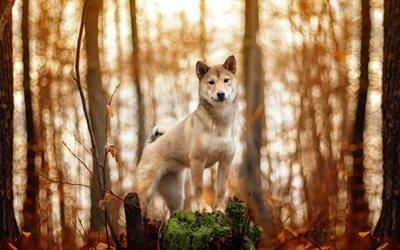 Акита-ину, лес, собаки, песик, осень, забавные животные
