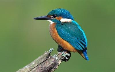 Зимородок, 4K, птицы, крупный план, Kingfisher