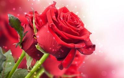 Красивые, красные, розы, Красиві, червоні троянди