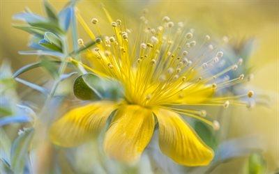 Флора, Цветы, Зверобой, Hypericum