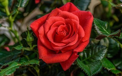 цветок, роза, листья