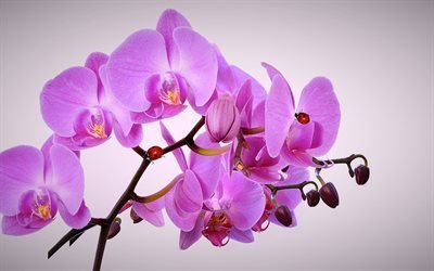 орхидея, тропические цветы, розовая орхидея, орхідея, тропічні квіти, рожева орхідея