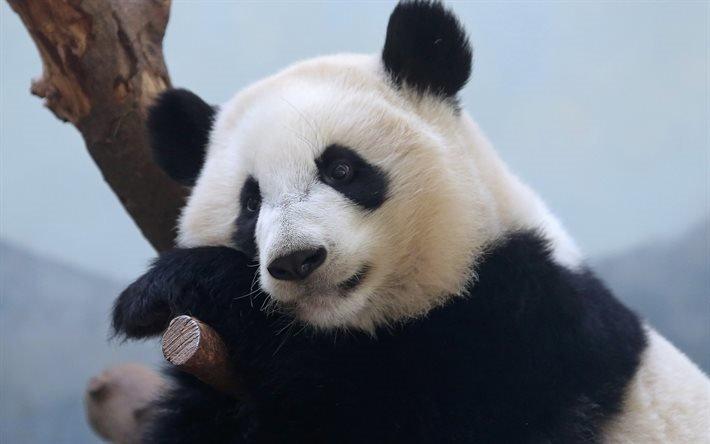 панда, медведь, Япония, милые животные