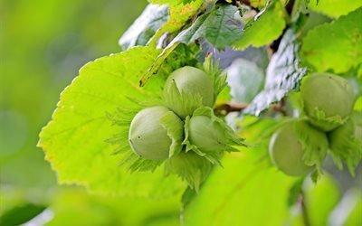 лещинные орехи, лещина, незрелые плоды, лист ореха, зеленый