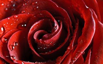 лепестки красной розы, капли, насыщенные тона, роза, красная, вода