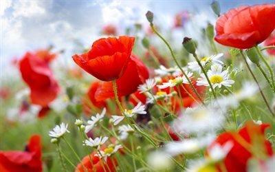 ромашки, маки, цветы, стебли, небо