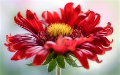 Флора, Цветы, Гайлардия, Gaillardia