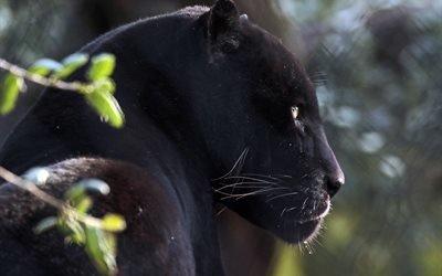 хищник, животное, кошка, пантера, профиль
