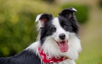 бордер-колли, собака, пёс, животное, природа, язык