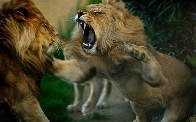 животные, львы, драка, разборки