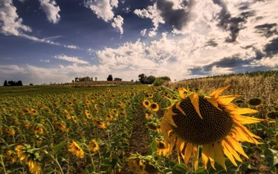 Поле, Подсолнухи, Умбрия, Италия, Sunflowers, Umbria, Italia