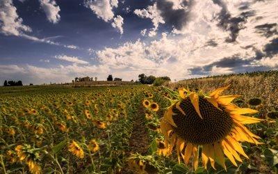 Поле, Подсолнухи, Умбрия, Италия, Sunflowers, Umbria, Italia