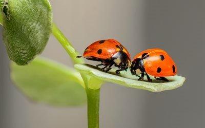божьи коровки, насекомые, пара, любовь, две, природа, макро